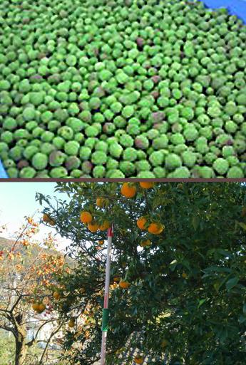 岩手県奥州市産黒石(くろいし)梅の収穫の様子